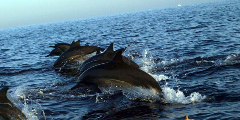 Dolphin Watch - Bali Dolphin Tour Package